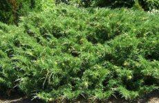 Можжевельник казацкий    ( Juniperus Sabina )